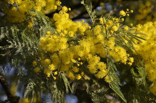 mimosa-3147971_640